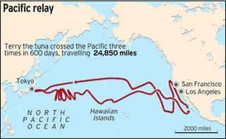 tuna crossed between Japan and the West Coast three times in 600 days.JPG
